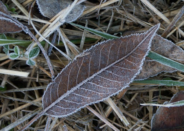 Frosty Greeting Card featuring the photograph Frosty Veined Leaf by Douglas Barnett