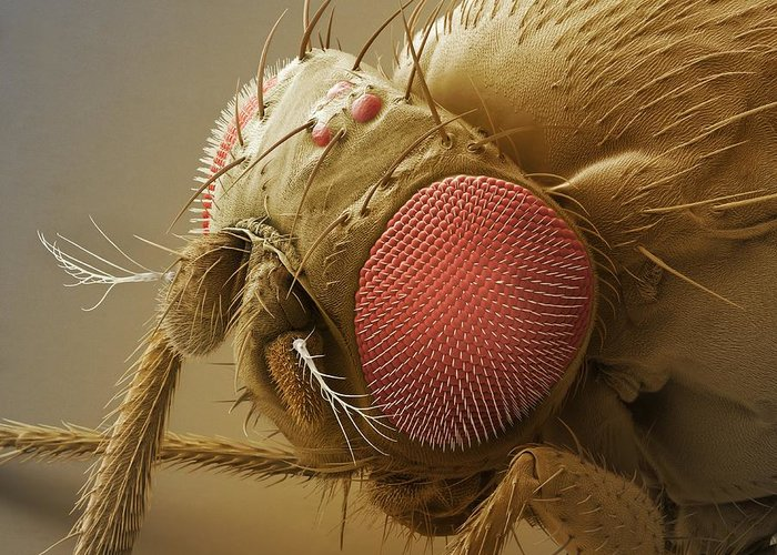 Drosophila Melanogaster Greeting Card featuring the photograph Fruit Fly Head, Sem by Power And Syred