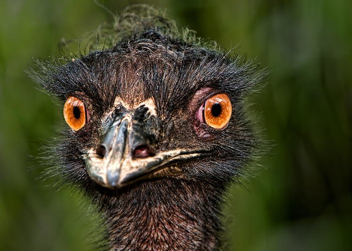 Animals Greeting Card featuring the photograph funny Emu by Joerg Lingnau