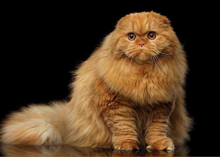 Furry Scottish Fold Cat Greeting Card