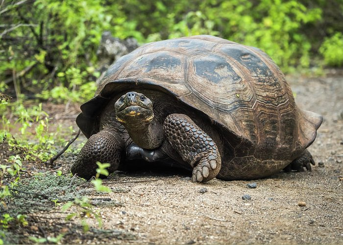 Galapagos Greeting Card featuring the photograph Galapagos Giant Tortoise Walking Down Gravel Path by Ndp