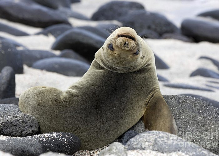Galapagos Sea Lion Greeting Card featuring the photograph Galapagos Sea Lion by David Hosking and Photo Researchers