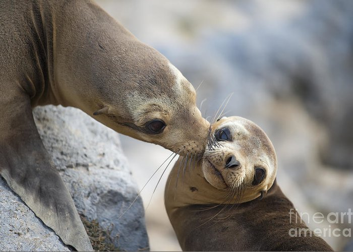 00548047 Greeting Card featuring the photograph Galapagos Sea Lion Kiss by Tui De Roy