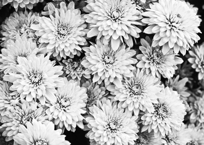 (c) 2010 Greeting Card featuring the photograph Garden Mums by Ryan Kelly