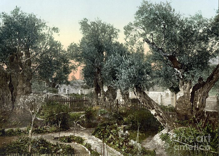 1900 Greeting Card featuring the photograph Garden Of Gethsemane by Granger