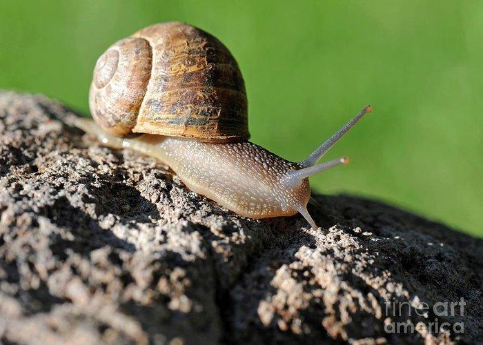 Snail Greeting Card featuring the photograph Garden Snail by Dennis Hammer
