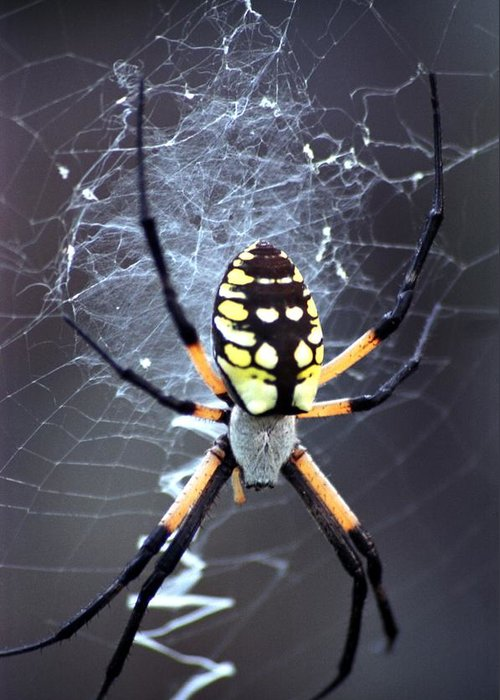 Garden Spider Greeting Card featuring the photograph Garden Spider by Bob Guthridge