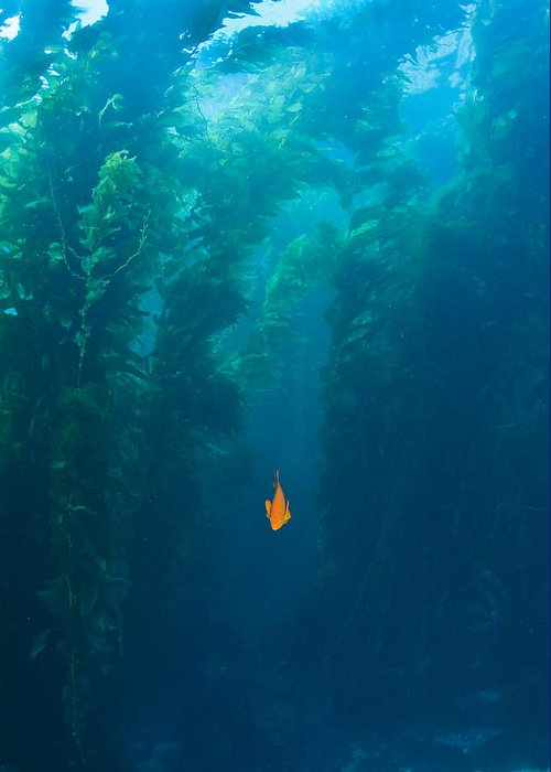 Animal Theme Greeting Card featuring the photograph Garibaldi Fish In Giant Kelp Underwater by James Forte