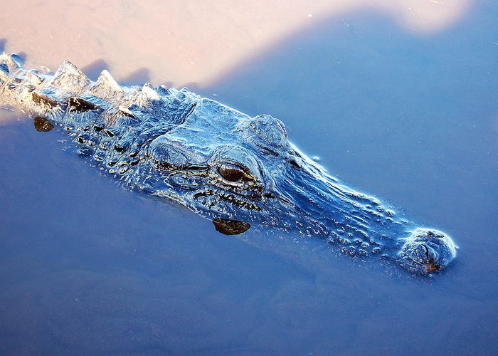 Alligator Greeting Card featuring the photograph Gator Blues by Heather S Huston