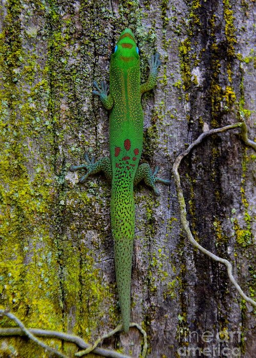 Gold Greeting Card featuring the photograph Gecko On Tree Bark by Jackson Kowalski
