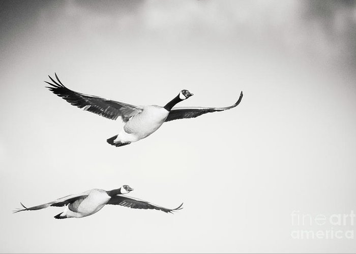 Geese In Flight Greeting Card featuring the photograph Geese in Flight by Michael McStamp