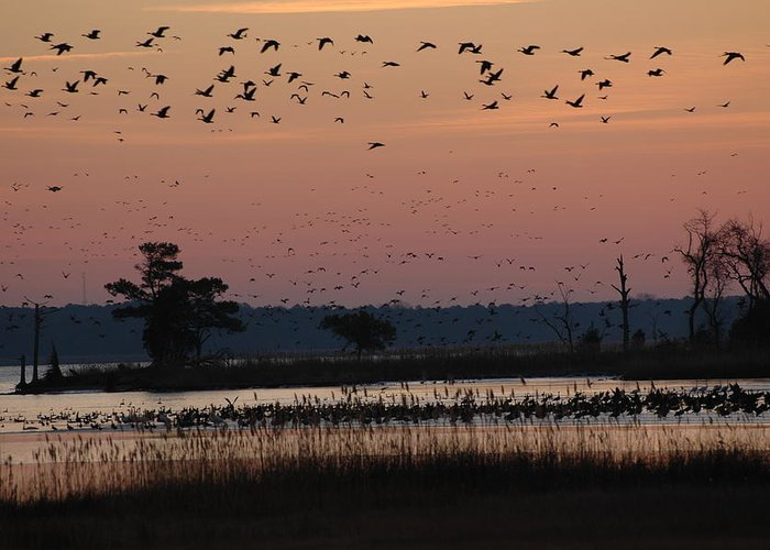 Chesapeake Bay Greeting Card featuring the photograph Geese On The Rise by Marc Van Pelt