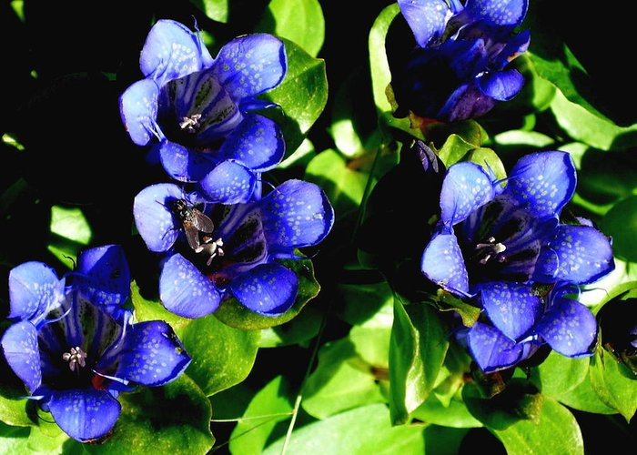 Blue Flower Greeting Card featuring the photograph Gentian Love by Dawna Raven Sky