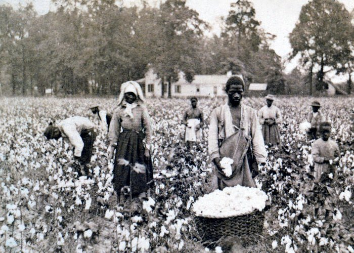 Georgia Greeting Card featuring the photograph Georgia Cotton Field - C 1898 by International Images