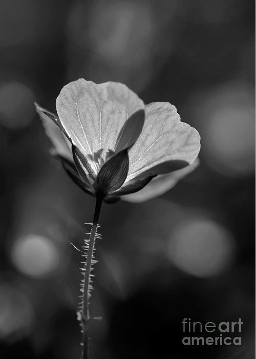 Kg Photography Greeting Card featuring the photograph Geranium In The Sun Bw by KG Photography