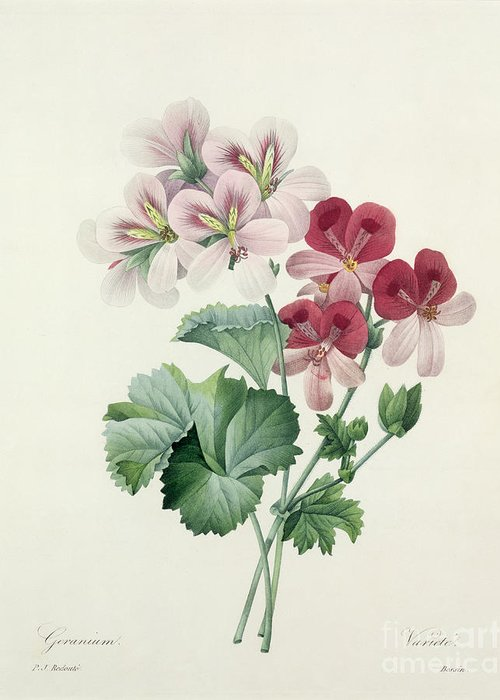 Geranium Greeting Card featuring the drawing Geranium Variety by Pierre Joseph Redoute