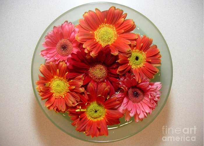 Nature Greeting Card featuring the photograph Gerbera Daisies - From Above by Lucyna A M Green