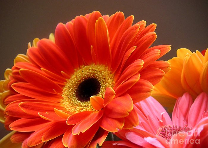 Nature Greeting Card featuring the photograph Gerbera Daisies - Luminous by Lucyna A M Green