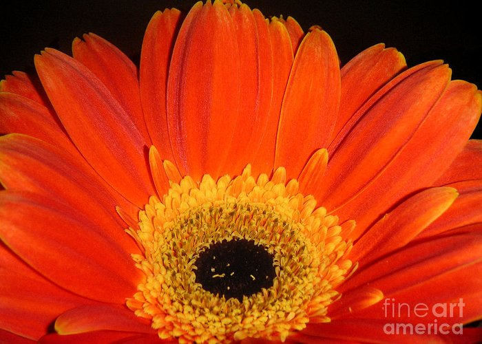 Nature Greeting Card featuring the photograph Gerbera Daisy - Glowing In The Dark by Lucyna A M Green
