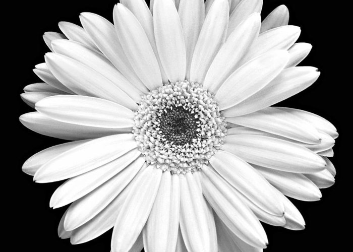 Gerber Greeting Card featuring the photograph Single Gerbera Daisy by Marilyn Hunt