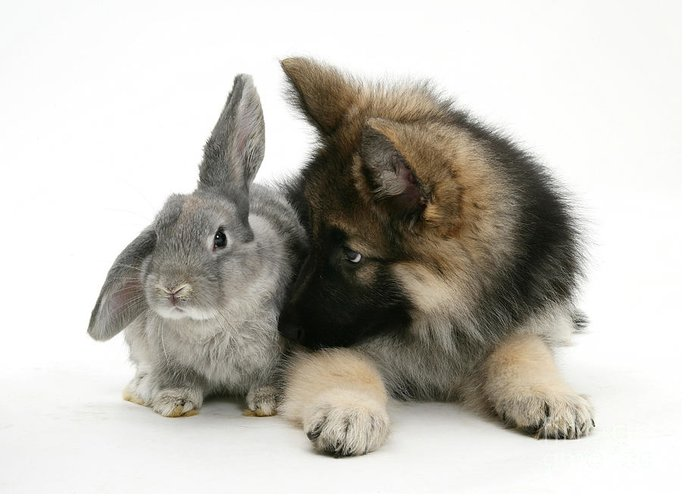 Nature Greeting Card featuring the photograph German Shepherd And Rabbit by Mark Taylor