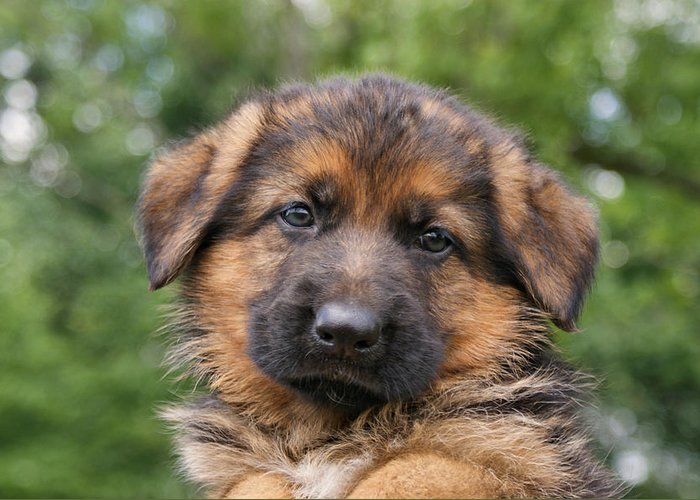 Dogs Greeting Card featuring the photograph German Shepherd Puppy II by Sandy Keeton