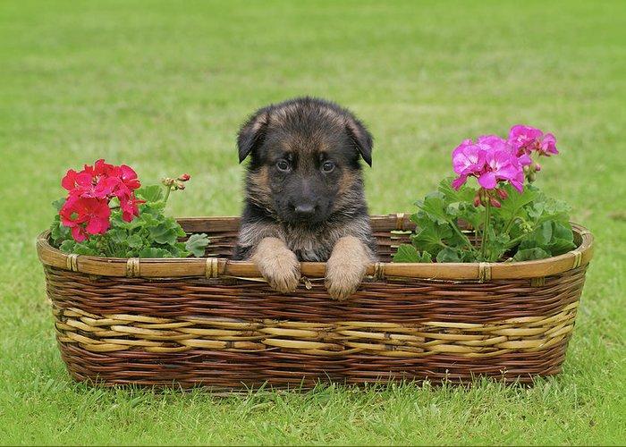 German Shepherd Greeting Card featuring the photograph German Shepherd Puppy In Basket by Sandy Keeton