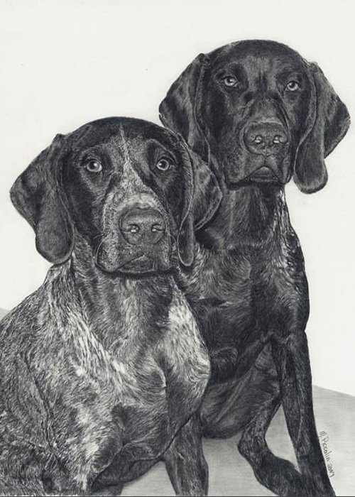 Dogs Greeting Card featuring the drawing German Shorthairs by Marlene Piccolin