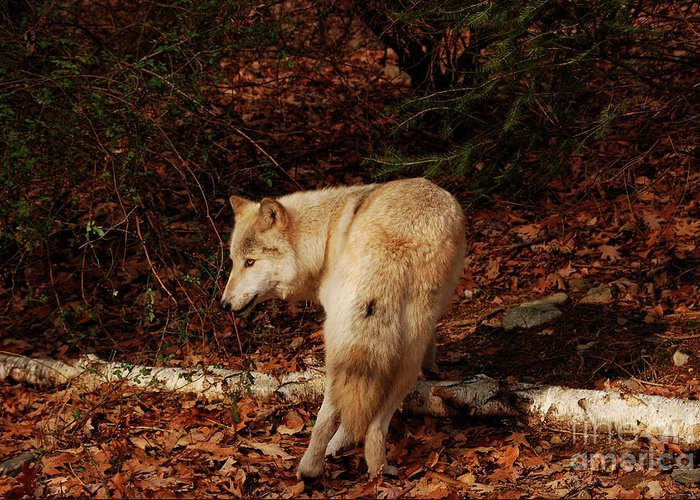 Wolf Greeting Card featuring the photograph Get Back It's My Stick by Lori Tambakis