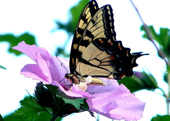 Butterfly.flower Greeting Card featuring the photograph Getting Into It by Rick Friedle