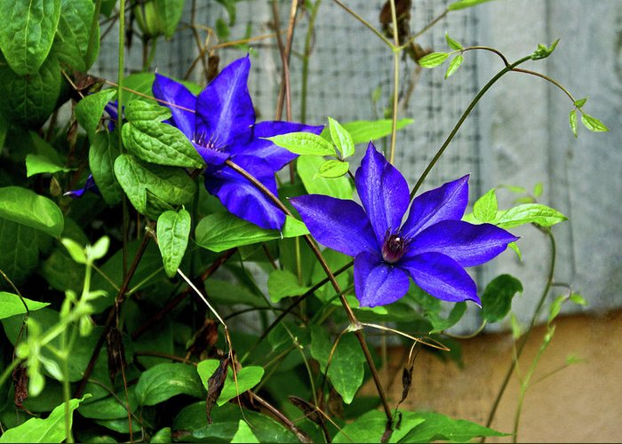 Clematis Greeting Card featuring the photograph Giant Blue Clematis by Douglas Barnett