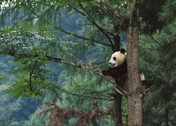 Mp Greeting Card featuring the photograph Giant Panda Ailuropoda Melanoleuca by Cyril Ruoso