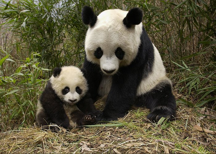 Mp Greeting Card featuring the photograph Giant Panda Ailuropoda Melanoleuca by Katherine Feng