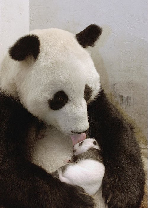 Mp Greeting Card featuring the photograph Giant Panda Ailuropoda Melanoleuca Xi by Katherine Feng