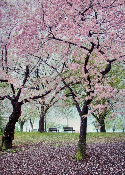 Cherry Blossoms Greeting Card featuring the photograph Gifts by Mitch Cat