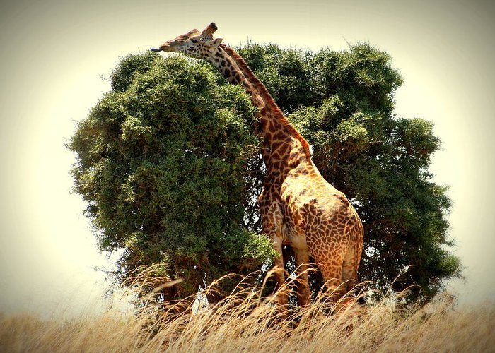 Giraffe Greeting Card featuring the photograph Giraffe In The Tree by Sue Long
