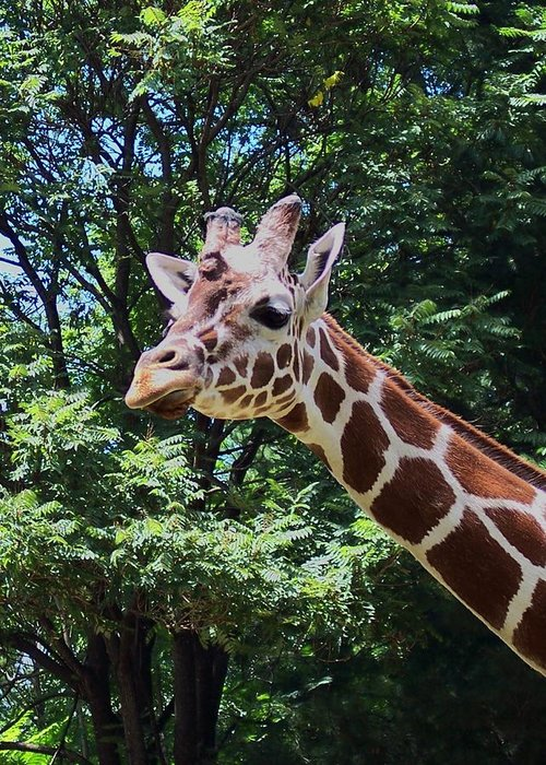 Giraffe Greeting Card featuring the photograph Giraffe by Keri MacKinnon