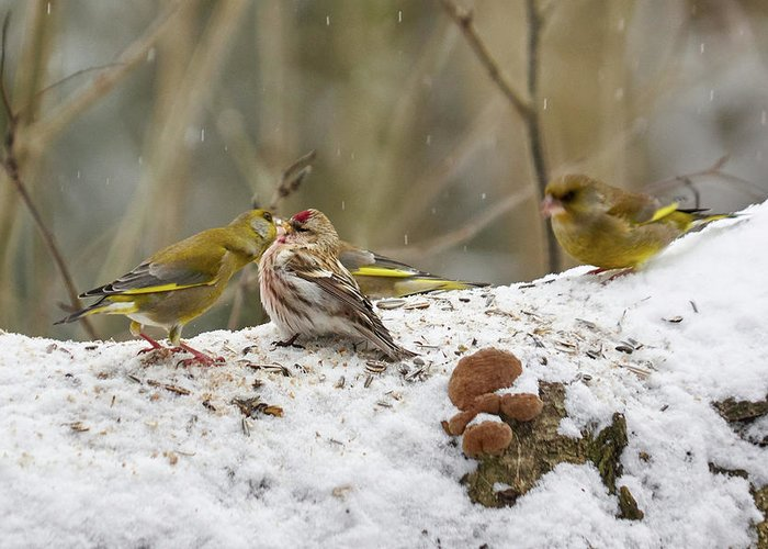 Acanthis Flammea Greeting Card featuring the photograph Give Me A Kiss. Redpolls And Greenfinches by Jouko Lehto