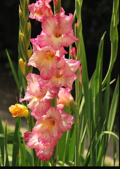Gladiolus Greeting Card featuring the photograph Gladiolus by Michelle DiGuardi
