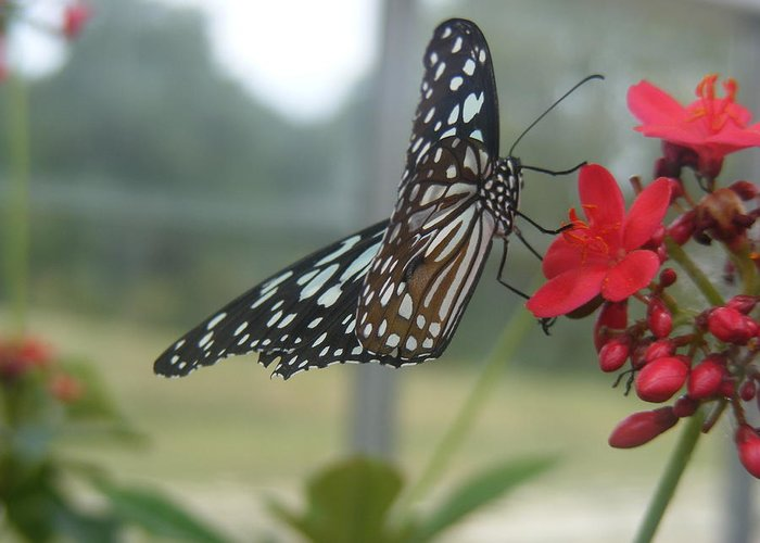 Butterfly Greeting Card featuring the photograph Glass Wing Butterfly by James and Vickie Rankin