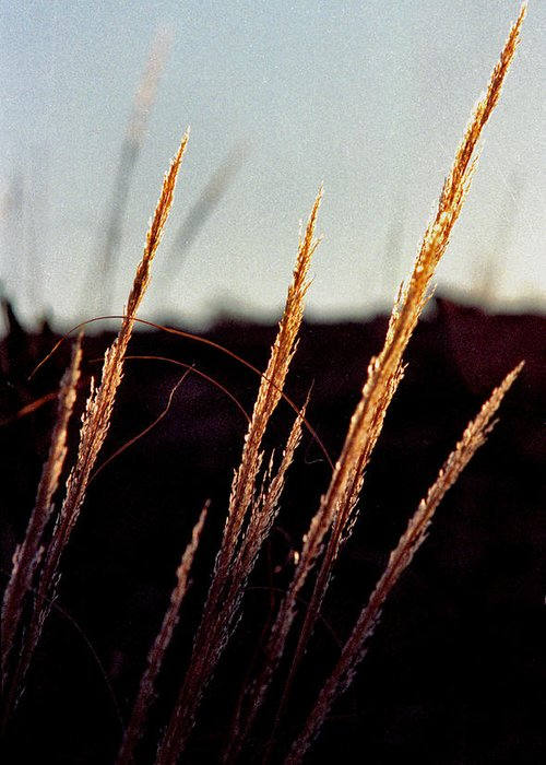 Grass Greeting Card featuring the photograph Glistening Grass by Randy Oberg