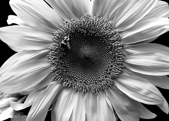 Sunflower Greeting Card featuring the photograph Glory by Carol J Hicks