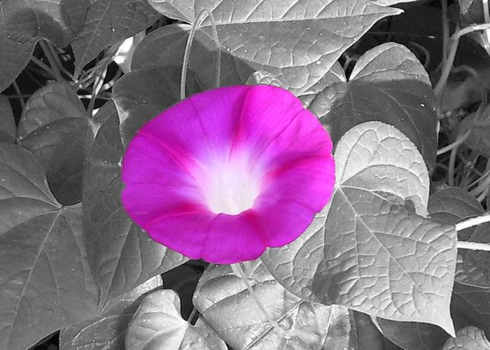 Pink Morning Glory Railroad Vine Plant Vines Greeting Card featuring the photograph Glory Pink by Lindsay Clark