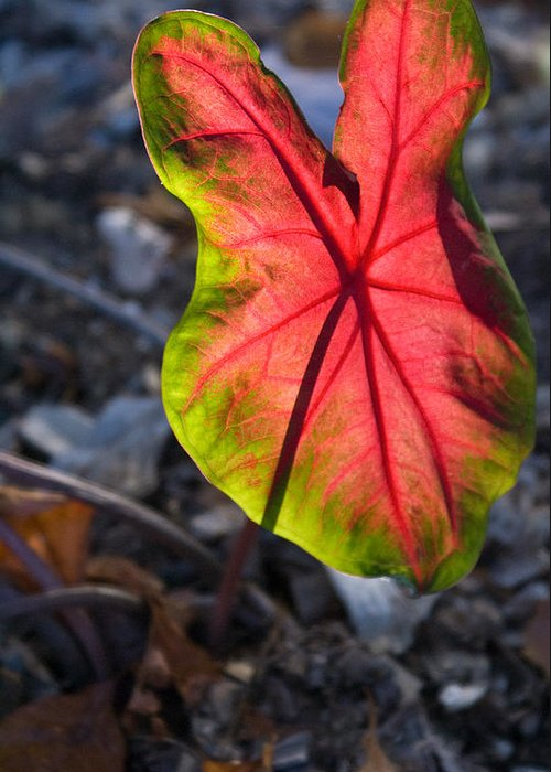 Glowing Greeting Card featuring the photograph Glowing Coladium Leaf by Douglas Barnett