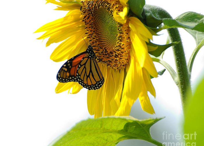 Butterfly Greeting Card featuring the photograph Glowing Monarch On Sunflower by Edward Sobuta