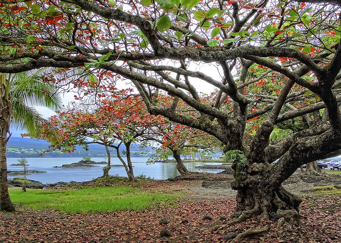 Hawaii Greeting Card featuring the photograph Gnarly Trees Of South Hilo Bay - Hawaii by Daniel Hagerman