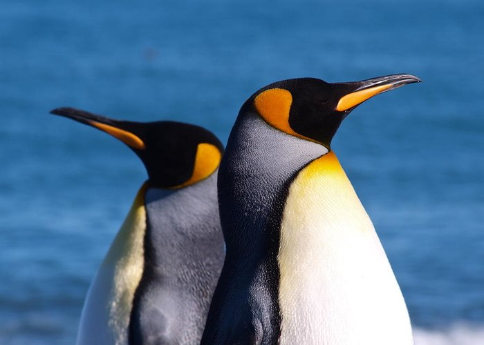 King Penguins Greeting Card featuring the photograph Gold Harbour South Georgia 104 by Per Lidvall