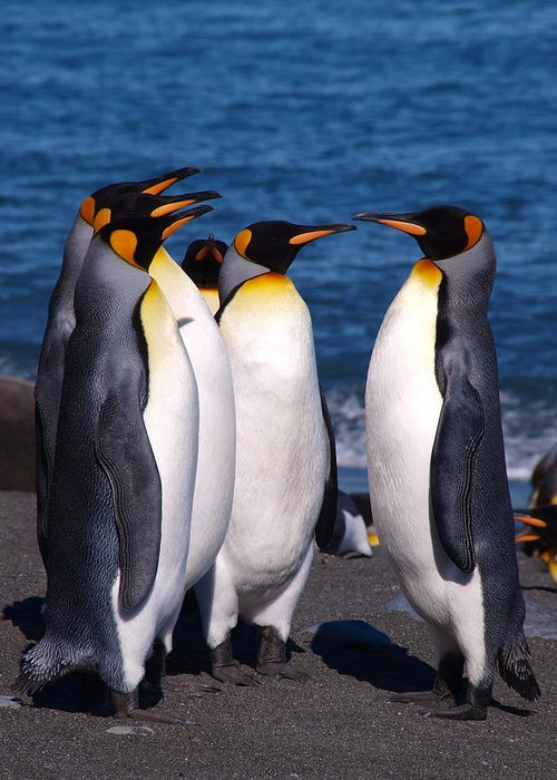 King Penguins Greeting Card featuring the photograph Gold Harbour South Georgia 75 by Per Lidvall