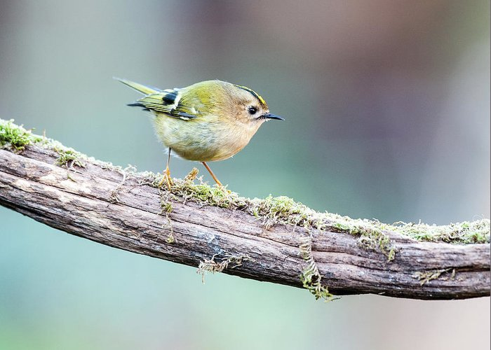Goldcrest Greeting Card featuring the photograph Goldcrest by Alan Grant