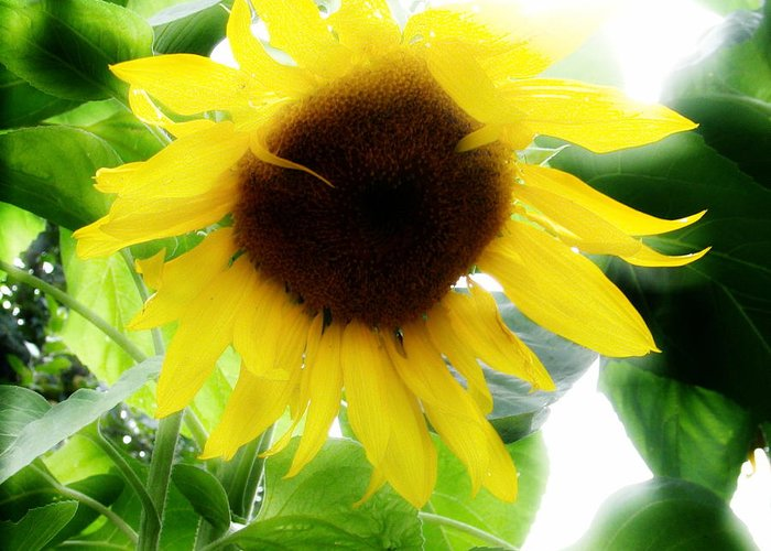 Sunflower Greeting Card featuring the photograph Golden Beauty by Idaho Scenic Images Linda Lantzy